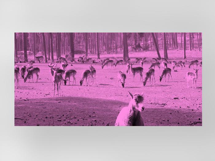 Rehe pink-0